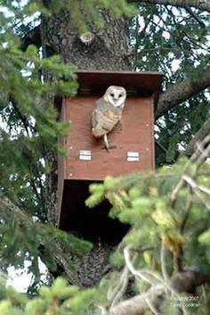 How To Make And Erect A Barn Owl